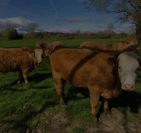 Waterford Cattle Stretch their Legs