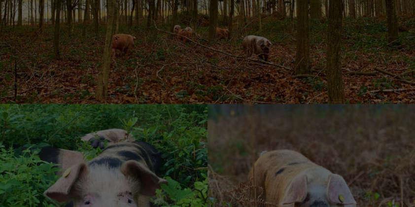New Supplier – Woodland Reared Pork